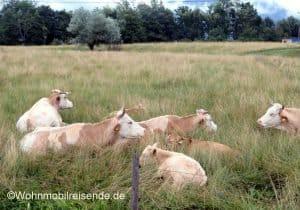 Kühe am Stellplatz für Ljubliana